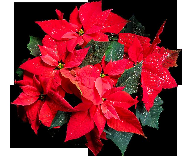Foto Stella Di Natale.La Leggenda Della Stella Di Natale La Pianta Delle Feste Vero Babbo Natale